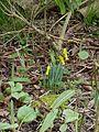 Narcissus cyclamineus - Flickr - peganum (3).jpg