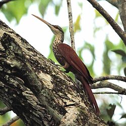 Nasica longirostris - Long-billed Woodcreeper.jpg