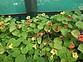 Nasturtium from lalbagh 2108.JPG