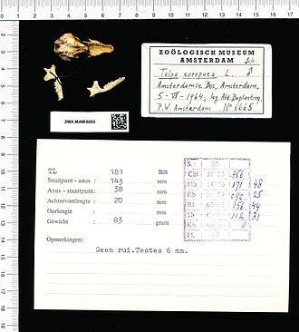 European mole - Preserved skull (1964)