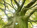 Naturdenkmal Essen Haarzopf Blutbuchesbaumstamm im Frühling.jpg