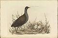 Nederlandsche vogelen (KB) - Gallinula chloropus (070b).jpg
