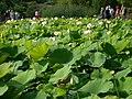 Nelumbo nucifera – Arboretum Ellerhoop 1.jpg