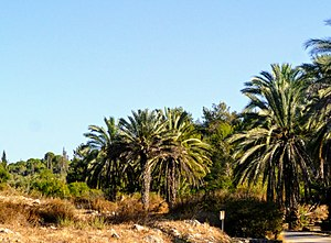 Neot Kedumim - palm trees