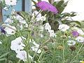 Nepali flower2.JPG