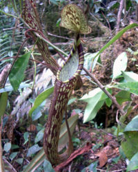 Nepenthes spectabilis1.jpg