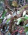 Nepenthes spectabilis1.jpg