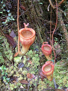 <i>Nepenthes jamban</i> species of plant
