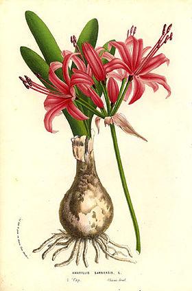 Nerine sarniensis (1856).jpg