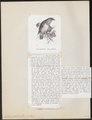 Nestor productus - 1872 - Print - Iconographia Zoologica - Special Collections University of Amsterdam - UBA01 IZ18600045.tif