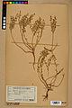 Neuchâtel Herbarium - Alyssum alyssoides - NEU000021933.jpg