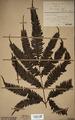 Neuchatel Herbarium Types NEU000113034.tif