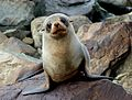 New Zealand Fur seal.FZ200 (14502532505).jpg