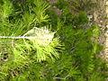 Nid de chenilles processionnaires sur pin d'alep.JPG