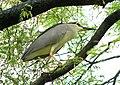 Night Heron (2126653987).jpg