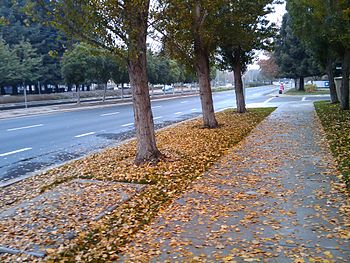 English: Street side trees shedding leaves in ...