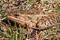Northern Leopard Frog (Lithobates pipiens) 03.jpg