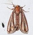 Notodontid Moth (Draudtargia picta) (39751570574).jpg