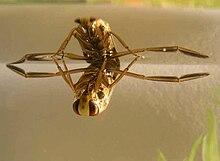 Notonectidae Wikipedia