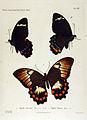 NovaraExpZoologischeTheilLepidopteraAtlasTaf16.jpg