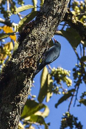 Nuthatch vanga - Image: Nuthatch Vanga Andasibè Madagascar S4E7519 (15102034490)