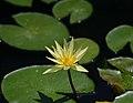 Nymphaea 'St. Louis Gold' Flower.JPG