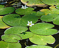 Nymphoides indica, the Water Snowflake (9149322646).jpg