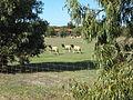 OIC dongara springfield agricultural 3 sdr.jpg