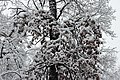 Oak in snow 2017 G1.jpg