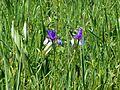 Obere Mähder Iris sibirica 1.jpg