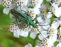 Oedemera nobilis. Female. - Flickr - gailhampshire.jpg