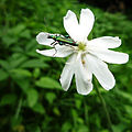 Oedemera nobilis - Silene latifolia-b.jpg