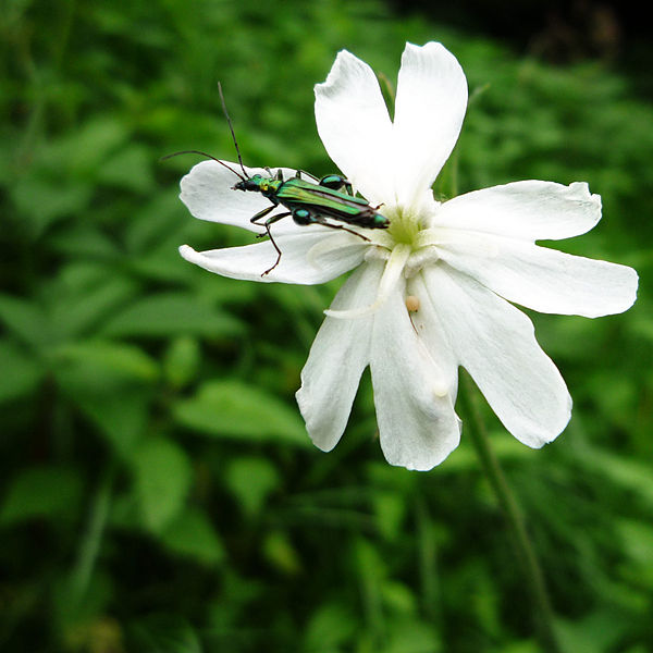 Insect: Oedemera nobilis (thick-legged flower beetle)  Flower: Silene latifolia (white campion)
