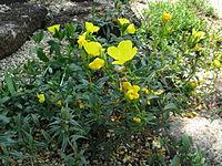 Oenothera perennis2