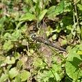 Old female Orthetrum coerulescens at Bebresh dam, Bulgaria 02.jpg