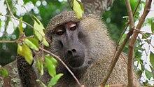 Esemplare maschio su un albero al Serengeti National Park, Tanzania