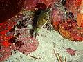 Omegophora cyanopunctata Bluespotted toadfish PC290526.JPG