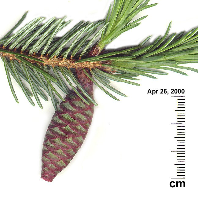 Omorika, young cone