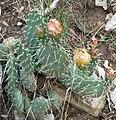 Opuntia polyacantha 5.jpg