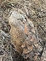 Opuntia sp. - Ground tissue I.jpg