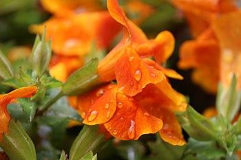 Orange flower in India, 2016.jpg