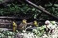 Orchard Oriole (female), Blue-winged Warbler (bathing) Boy Scout Woods High Island TX 2018-04-11 12-52-14-2 (41800523721).jpg