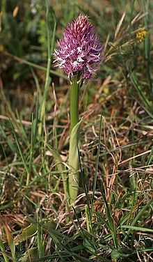 Orchis italica wiki mg-k01.jpg
