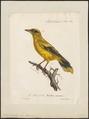 Oriolus auratus - 1825-1834 - Print - Iconographia Zoologica - Special Collections University of Amsterdam - UBA01 IZ16400173.tif