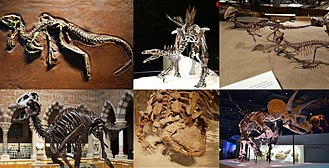 Ornithischia - A collection of ornithischian fossil skeletons. Clockwise from upper left: Heterodontosaurus tucki (a heterodontosaurid), Stegosaurus stenops (a plated stegosaur), Scolosaurus thronus (an armored ankylosaur), Edmontosaurus annectens (a duck-billed hadrosaur), Stegoceras validum (a thick-headed pachycephalosaur), and Triceratops horridus (a horned ceratopsian).