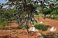 Oroxylum indicum W IMG 3168.jpg