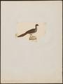 Ortalida guttata - 1820-1860 - Print - Iconographia Zoologica - Special Collections University of Amsterdam - UBA01 IZ16900101.tif