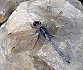 Orthetrum chrysostigma. Epaulet Skimmer. Male. - Flickr - gailhampshire.jpg