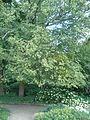 Ostrya virginiana BotGardBln07122011H.JPG