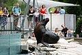 Otaria byronia Zoo Schönbrunn 2018.jpg